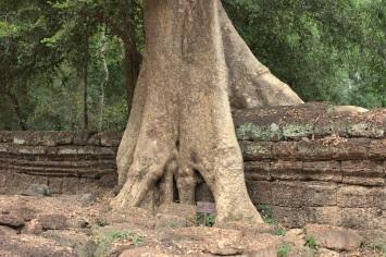 Baumwurzeln im Wat Ta Phrom