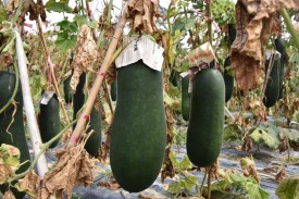 Hänge-Zucchini