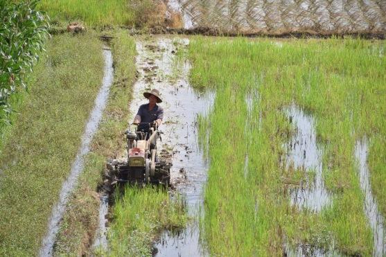 Reisbauer auf dem Feld
