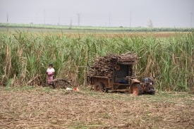Handarbeit auf den Feldern