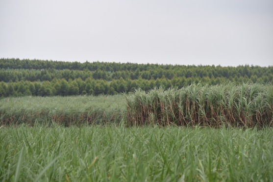 Zuckerrohr Und Eukalyptus im Südewesten von Guangdong