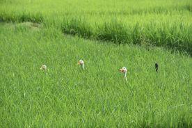 Versteckspiel im Reisfeld